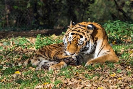 El tigre siberiano, Panthera tigris altaica en el zoológico Foto de archivo