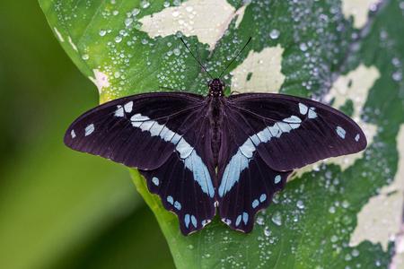 Blue morpho butterfly or the emperor, morpho peleides resting on a flower 版權商用圖片