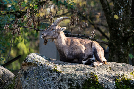 Male mountain ibex or capra ibex sitting on a rock