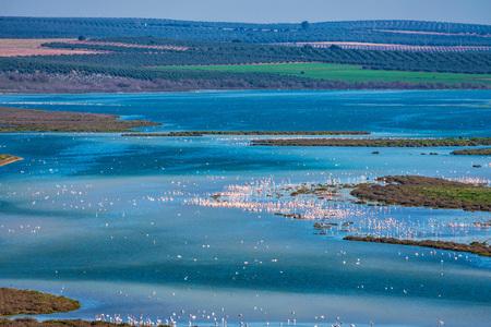 Greater Flamingos in Lagoon Fuente de Piedra, Andalusia, Spain 版權商用圖片