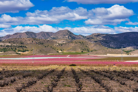 Orchards in bloom. A blossoming of fruit trees in Cieza, Murcia Spain Stockfoto