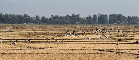 A flock of ethiopian common cranes in flight. Seen in Bahir Dar, Ethiopia 版權商用圖片