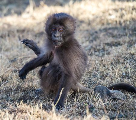 Gelada Baboon Theropithecus Gelada . Simien Mountains National Park. Geladas are great primates living in Ethiopia only. Africa. 版權商用圖片