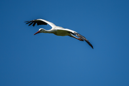 The European white stork, Ciconia ciconia is a large bird in the stork family Ciconiidae. Its plumage is mainly white, with black on its wings. 스톡 콘텐츠