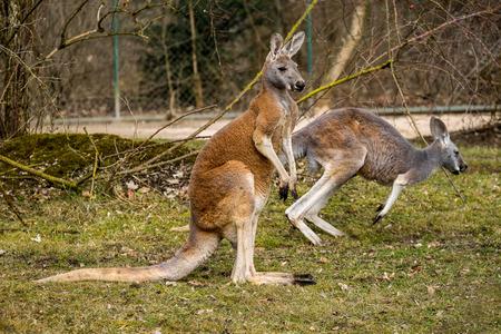 El canguro rojo, Macropus rufus es el más grande de todos los canguros, el mamífero terrestre más grande nativo de Australia y el marsupial más grande existente. Foto de archivo