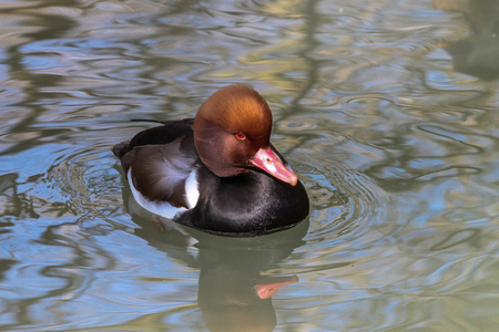 The Red-crested Pochard, Netta rufina is a large diving duck.