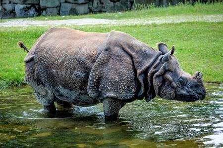 Nosorożec indyjski, Rhinoceros unicornis jest również nazywany nosorożcem jednorogim większym i nosorożcem jednorogim azjatyckim i należy do rodziny Rhinocerotidae.