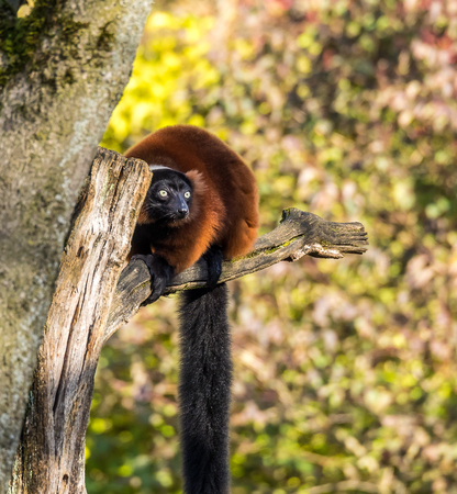 The red ruffed lemur, Varecia rubra is one of two species in the genus Varecia, the ruffed lemurs