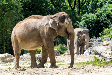 The Asian elephant, Elephas maximus also called Asiatic elephant, is the only living species of the genus Elephas and is distributed in the Indian subcontinent and Southeast Asia 免版税图像