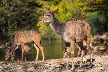 Greater kudu, Tragelaphus strepsiceros is a woodland antelope 版權商用圖片