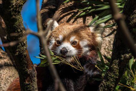 The red panda, Ailurus fulgens, also called the lesser panda. Stockfoto