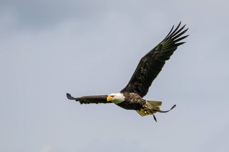 The bald eagle lat. haliaeetus leucocephalus is a bird of prey found in North America.
