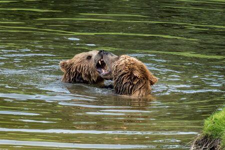 European brown bear, ursus arctos in a park in germany