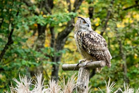 The Siberian eagle owl, bubo bubo sibiricus is the biggest owl in the world.