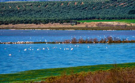 Greater Flamingos in Lagoon Fuente de Piedra, Andalusia, Spain Stock Photo