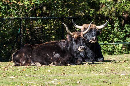 Heck cattle, Bos primigenius taurus, claimed to resemble the extinct aurochs. Reklamní fotografie