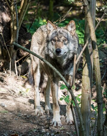 The wolf, Canis lupus, also known as the grey wolf or timber wolf is a canine native to the wilderness and remote areas of Eurasia and North America.