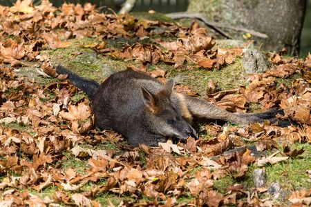 Swamp Wallaby, Wallabia bicolor, is one of the smaller kangaroos. This wallaby is also commonly known as the black wallaby Imagens