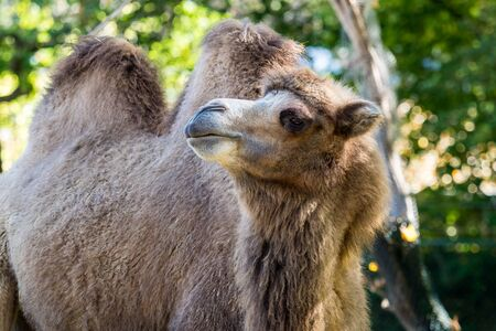 The Bactrian camels, Camelus bactrianus is a large, even-toed ungulate native to the steppes of Central Asia. The Bactrian camel has two humps on its back Stock Photo