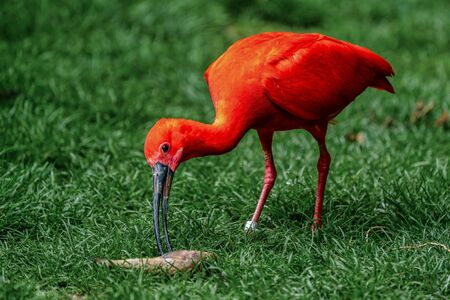 Scarlet ibis, Eudocimus ruber. Wildlife animal in the zoo