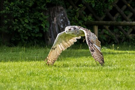 The Siberian eagle owl, bubo bubo sibiricus is the biggest owl in the world. Reklamní fotografie