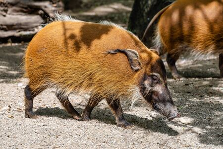 Red river hog, Potamochoerus porcus, also known as the bush pig. This pig has an acute sense of smell to locate food underground. Фото со стока