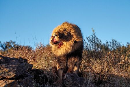Lion, Panthera leo at a game drive in Namibia, Africa 免版税图像