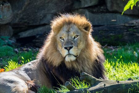 The lion, Panthera leo is one of the four big cats in the genus Panthera and a member of the family Felidae. Reklamní fotografie