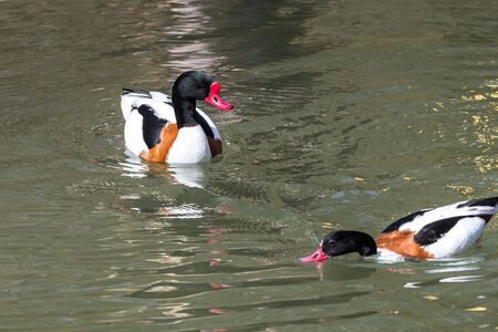 The common shelduck, Tadorna tadorna is a waterfowl species of the shelduck genus, Tadorna.