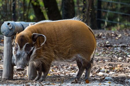 Red river hog, Potamochoerus porcus, also known as the bush pig. This pig has an acute sense of smell to locate food underground. Banco de Imagens
