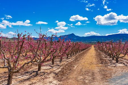 Orchards in bloom. A blossoming of fruit trees in Cieza in the Murcia region. Peach, plum and nectarine trees. Spain