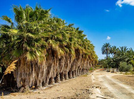 Palm Groves, Palmeral in Elche near Alicante in Spain