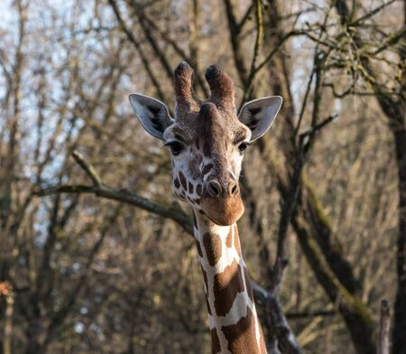 The giraffe, Giraffa camelopardalis is an African even-toed ungulate mammal, the tallest of all extant land-living animal species, and the largest ruminant. Stock Photo