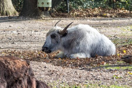The domestic yak, Bos grunniens is a long-haired domesticated bovid found throughout the Himalayan region of the Indian subcontinent, the Tibetan Plateau and as far north as Mongolia and Russia.