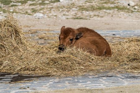 The American bison or simply bison, also commonly known as the American buffalo or simply buffalo, is a North American species of bison that once roamed North America in vast herds. Stock Photo