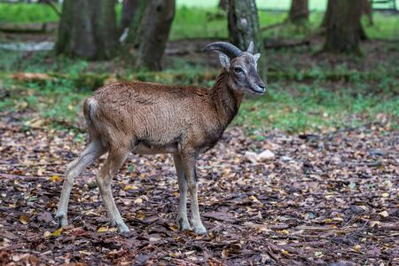 The European mouflon, Ovis orientalis musimon is the westernmost and smallest sub-species of mouflon. Stockfoto