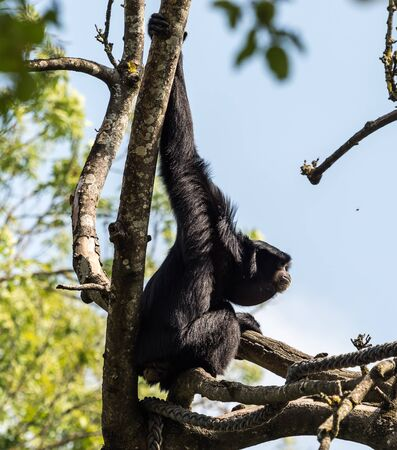 The siamang,Symphalangus syndactylus is an arboreal black-furred gibbon native to the forests of Malaysia, Thailand, and Sumatra. The largest of the gibbons. 写真素材