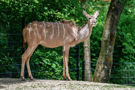 The common eland, Taurotragus oryx is a savannah antelope