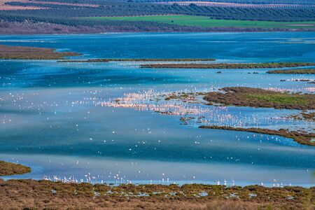 Greater Flamingos in Lagoon Fuente de Piedra, Andalusia, Spain 版權商用圖片