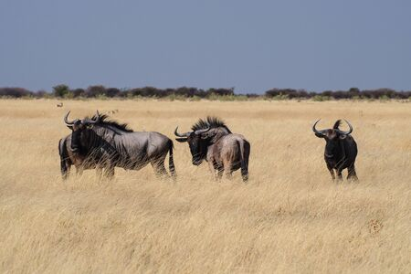 Blue wildebeest in Etosha National Park, Namibia. Connochaetes taurinus