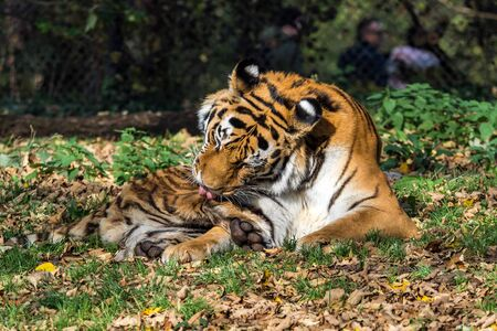 The Siberian tiger,Panthera tigris altaica is the biggest cat in the world Stock Photo