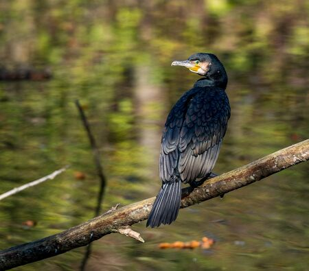 The great cormorant, Phalacrocorax carbo known as the great black cormorant across the Northern Hemisphere, the black cormorant in Australia and the black shag further south in New Zealand Banco de Imagens