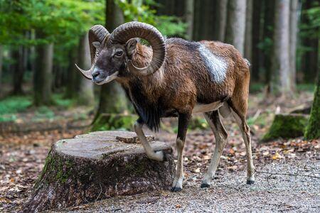The European mouflon, Ovis orientalis musimon is the westernmost and smallest sub-species of mouflon. Imagens