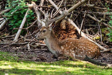 The fallow deer, Dama mesopotamica is a ruminant mammal