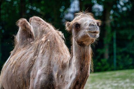 Bactrian camel, Camelus bactrianus in a german zoo