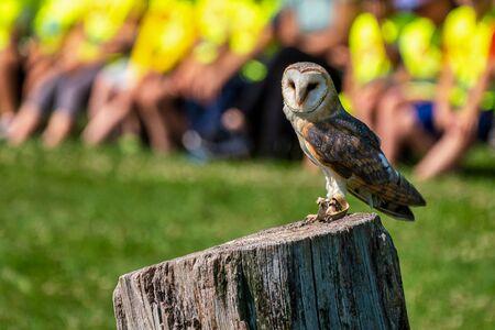 The western barn owl, Tyto alba in a nature park 版權商用圖片
