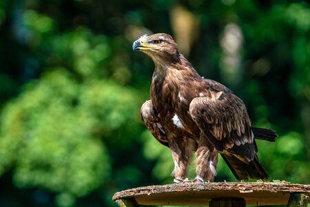 Harriss hawk, Parabuteo unicinctus, bay-winged hawk or dusky hawk