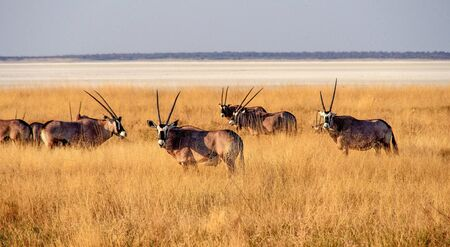Oryx in the savannah of Etosha National Park in Namibia, Africa Stock Photo