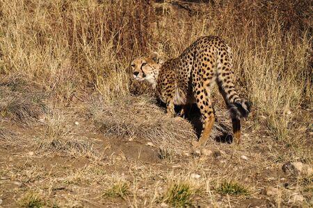 Cheetah, Acinonyx jubatus at a game drive in Namibia, Africa