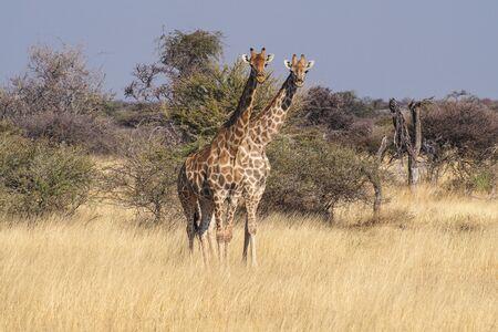 Giraffes, Giraffa camelopardalis walking over the plains of Etosha National Park, Namibia Stock Photo